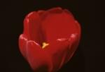 FBG Tulip