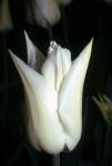 Tulips at FBG